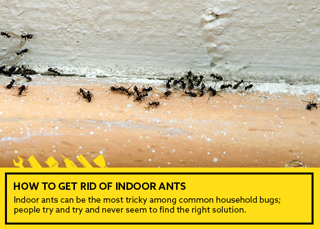 How to get rid of indoor ants